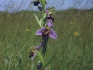 The Bee Orchid, one of the plants that has thrived at Kenfig Nature Reserve.